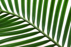 palm-branch